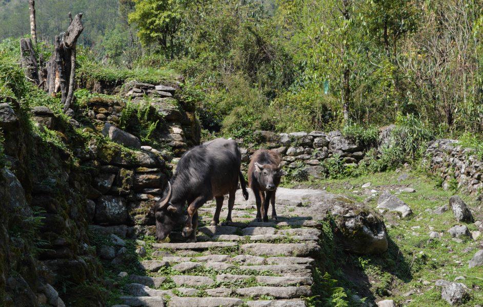 Domestic buffalo