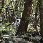 Grey langurs in the Annapurna Regions