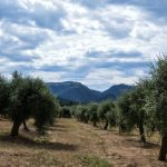 The olive tree fields in Priorat