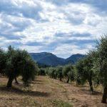 The olive tree fields in Priorat