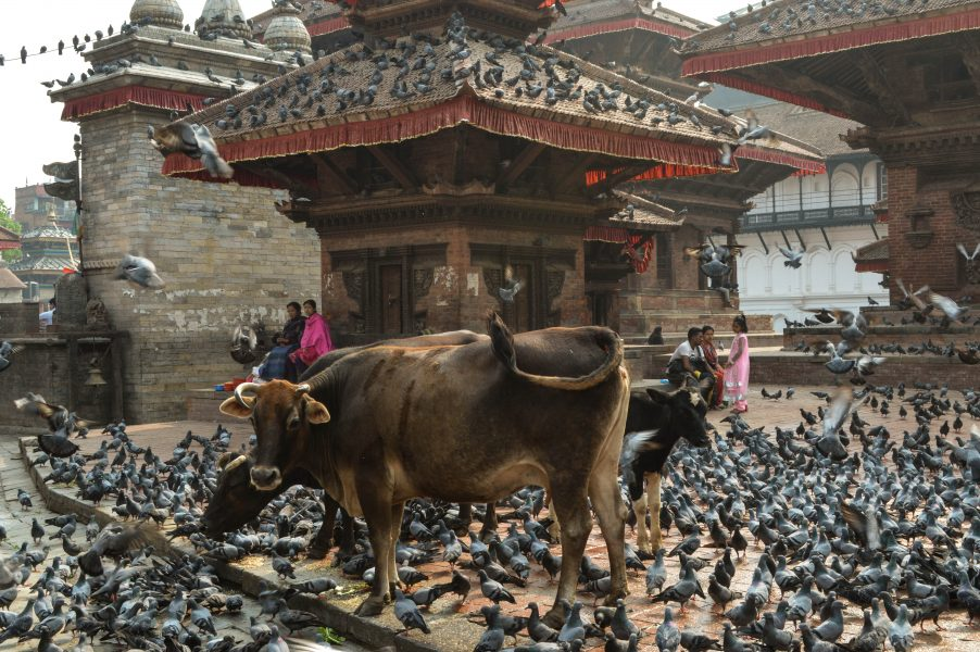 Holy cows in Durbar Square