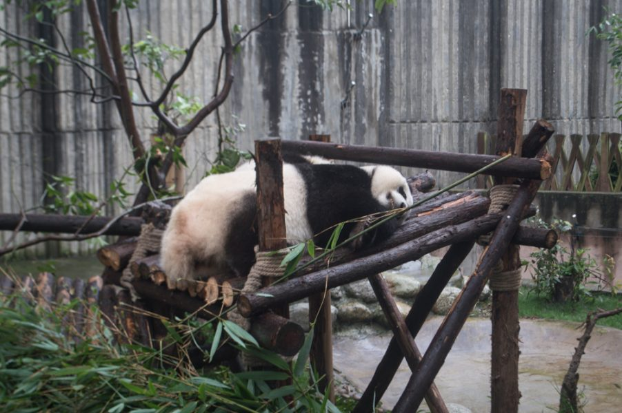 A giant panda at Chengdu Panda Base